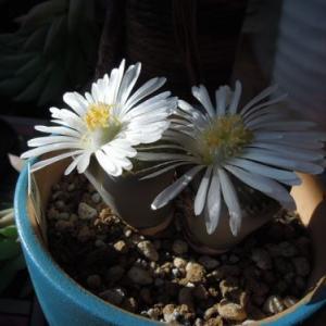 やっと開花しているところが見れました。。。リトープス 福来玉san
