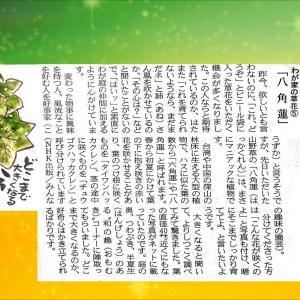 『わが家の草花⑥ 八角蓮』