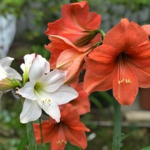 今日のオレンジ色のアマリリス