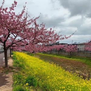 豊川市の河津桜 2020見頃