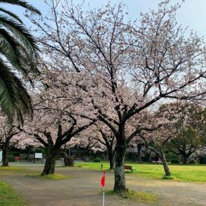 豊川 稲荷公園のサクラ