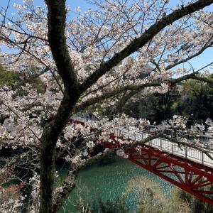 新城 桜淵公園 満開!