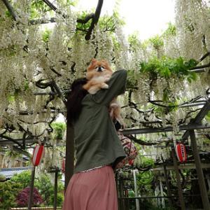 藤まつり~弥彦神社