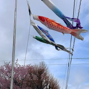 5月の桜と鯉のぼり