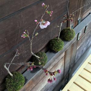 阿波雅桜の苔玉...