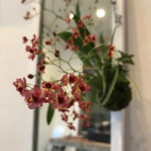 12/23 雨久花 ... オンシジュームの苔玉