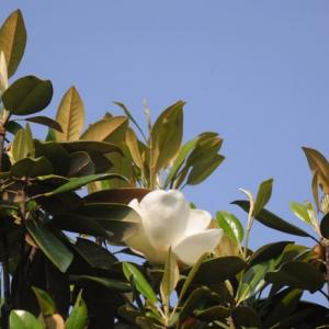 タイサンボクが咲いたよ、