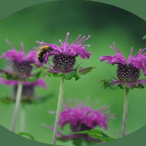 ベルガモットの咲く庭