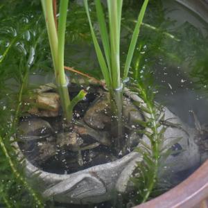 メダカ鉢に葦を植えてみた
