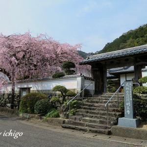 明王寺の枝垂れ桜