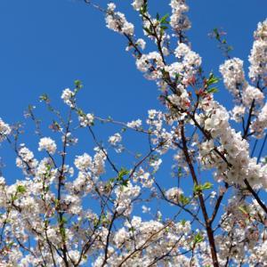 今年の桜の花
