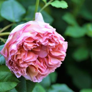 * 薔薇の季節に入りました 6/1~6 *