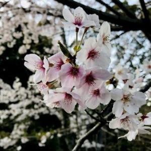 平成最後 満開の桜と共に?!2019年5月~新元号「令和」のR年へ