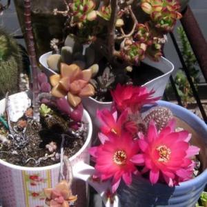 サボテンの花と種から育てたニゲラの花が咲きました