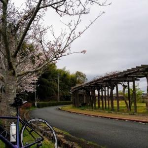 コロナであろうが桜咲き