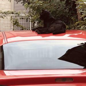 スタッフの車の上に猫が:::