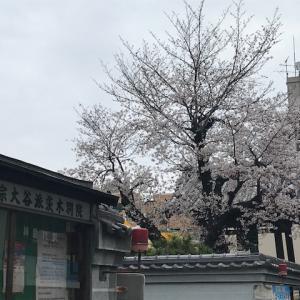 茨木御坊さんの桜満開