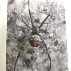 セアカコケグモ