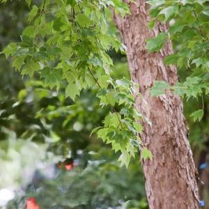 青銀杏の木