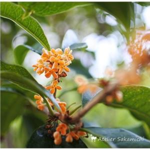 キンモクセイ、再び咲く。