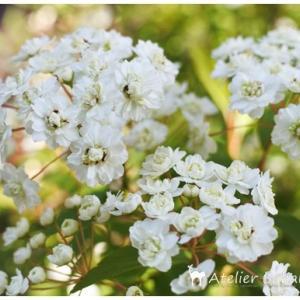 コデマリも咲き始めました。