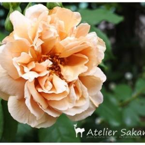 バラの開花です。