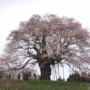 醍醐桜・樹齢一千年