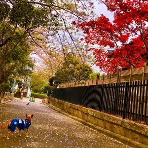 桜と紅葉の共演