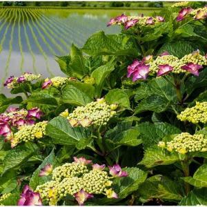紫陽花咲く水田