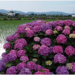 水辺の紫陽花