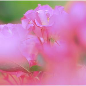 香り満ちる・・・春バラ