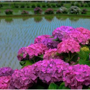 紫陽花の里