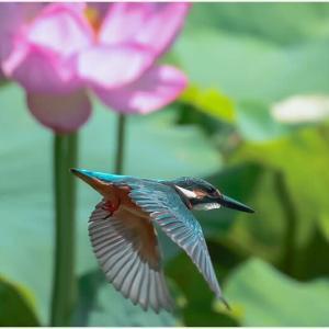 蓮田にて…カワセミ飛翔