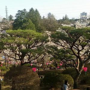 古九谷焼の鉢 桜模様