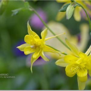 庭の黄色とちょい黄色 ^^;