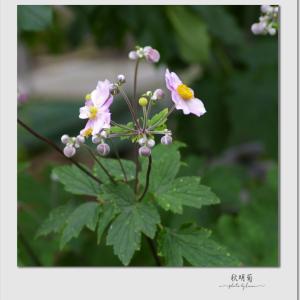 秋明菊/雨の日曜日には・・・
