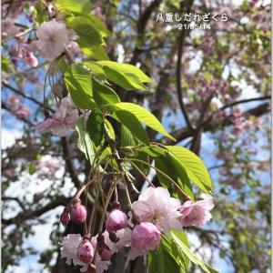 ひゃぁ~な、八重しだれ桜