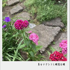 庭の・・・美女ナデシコと蝦夷白蝶