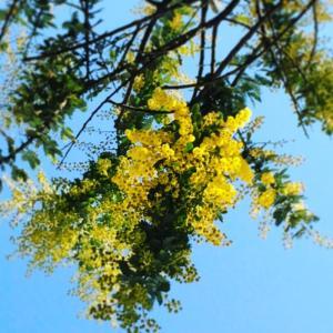 3月 春の訪れ 3/8ミモザの日 〜新しいミモザの木がやってきた