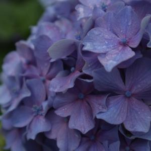 お久しぶりです。まずは紫陽花(*^^*)