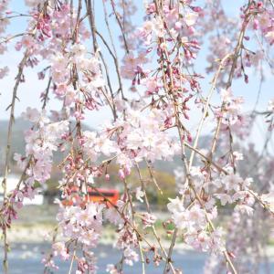 大好きな桜の花❤️