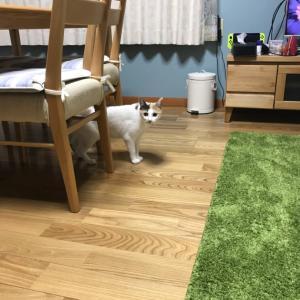 預かってる猫