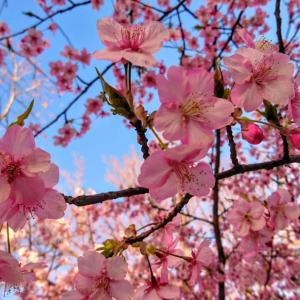 【寒桜+魚座新月と水星逆行+民謡ディナーショーにて~♪】