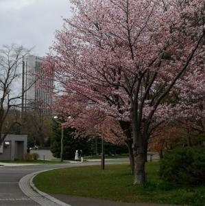 中島公園の桜(2021年5月1日)