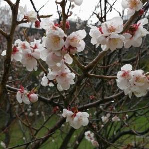 天神山緑地と北海道神宮の梅(2021年5月2日、3日)