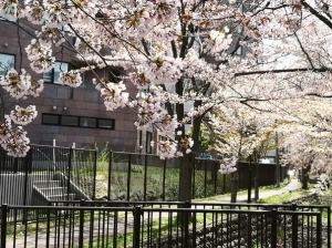 真駒内用水と真駒内公園の桜(2021年5月4日)