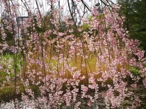 中島公園と道庁赤レンガの花々(主に桜)~2021.05.09