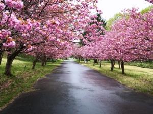 真駒内公園と天神山緑地の八重桜(2021年5月16日)