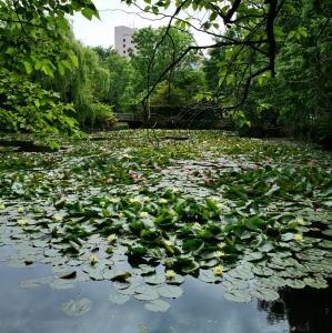 道庁赤レンガの池の睡蓮と、円山登頂(2021年6月19日)