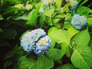 中島公園のアジサイとバラ(2021年7月10日)